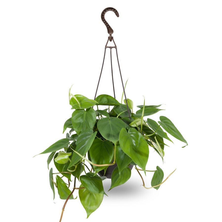 3-Quart Tropical Hanging Basket (Houseplant)