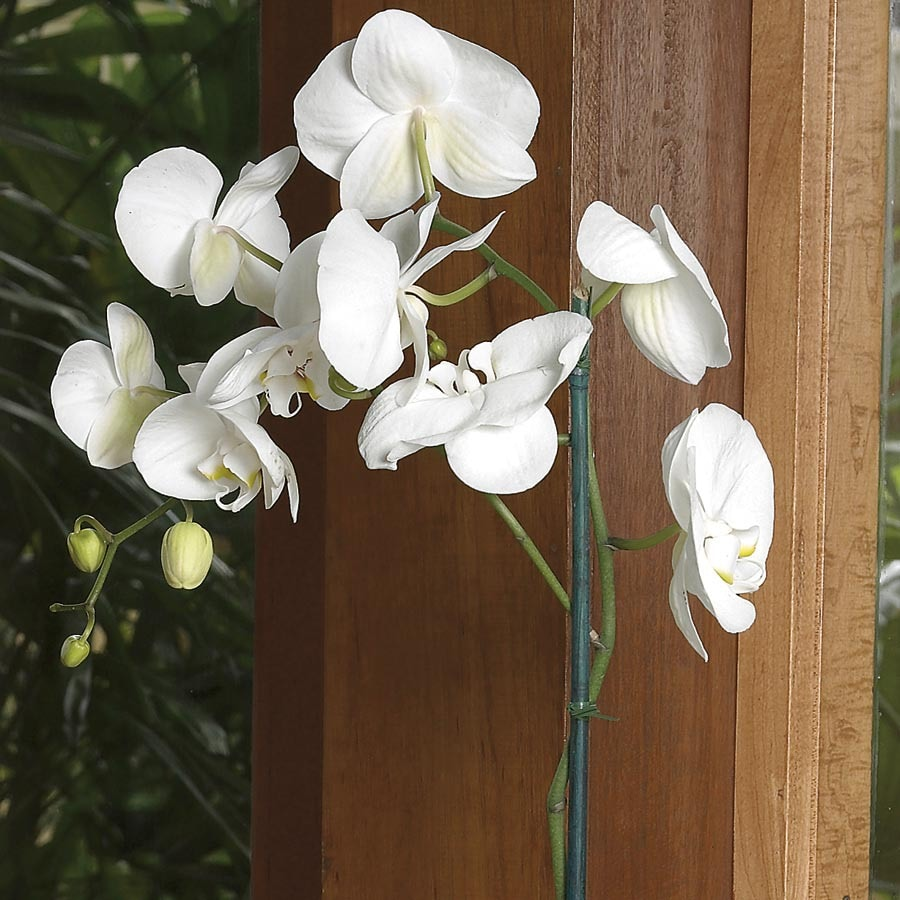 Shop Phalaenopsis Orchid L20963hp At Lowes