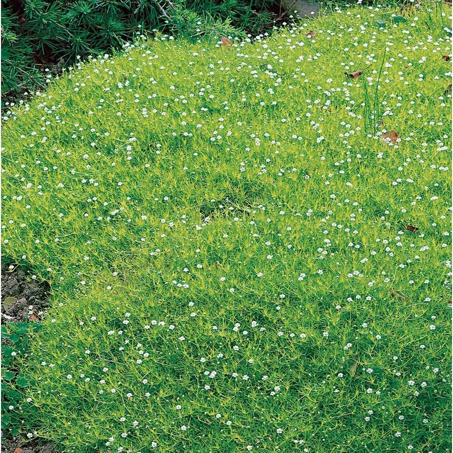 1-Gallon Irish Moss Pot (Lw04022)