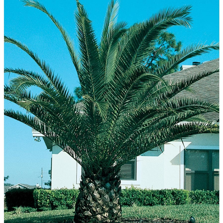 2.3-Gallon Canary Island Date Palm Feature Tree (L7541)