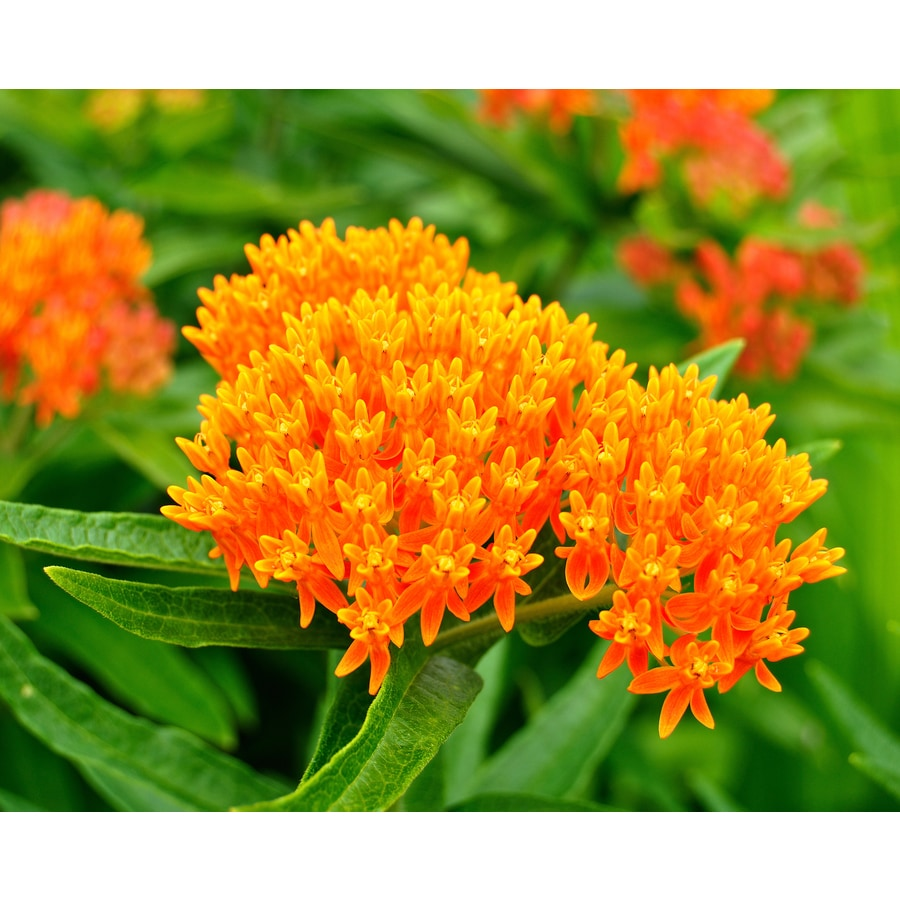2.5-Quart Container Butterfly Weed (L5647)