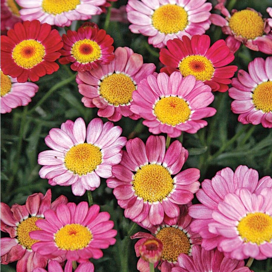 3-Quart Temporary Marguerite Daisy (Lw00222)
