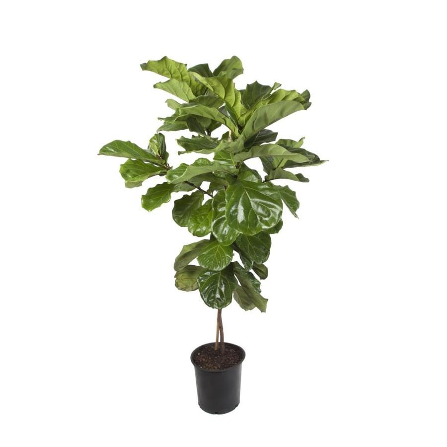 6.5-Gallon No Flowers Fiddleleaf Fig in Plastic Pot ...