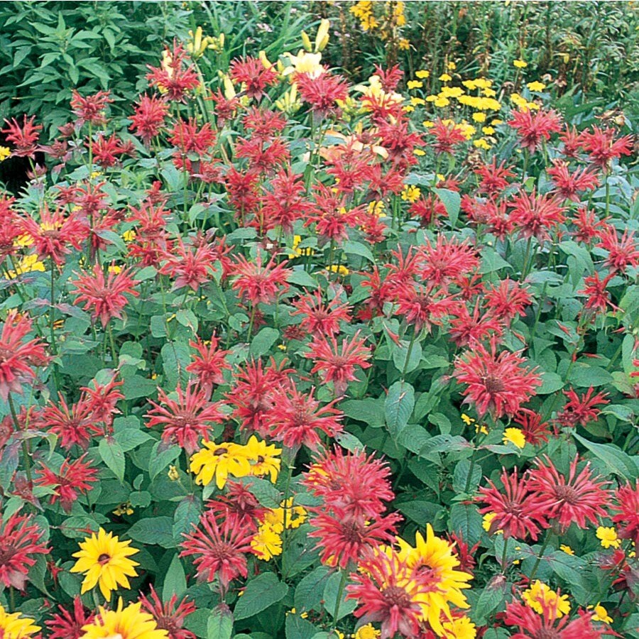 2.5-Quart Container Bee Balm (L7379)