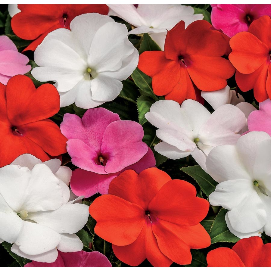 1-Pint New Guinea Impatiens (L3080)