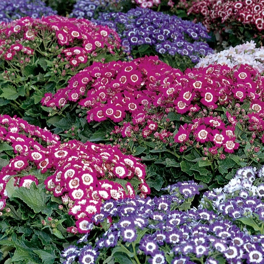 1.5-Gallon Senetti® Pericallis (L21175)