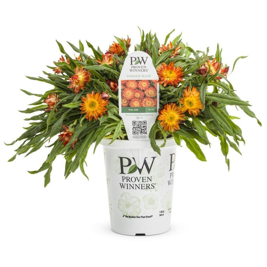 1.56 Pint Temporary Strawflower