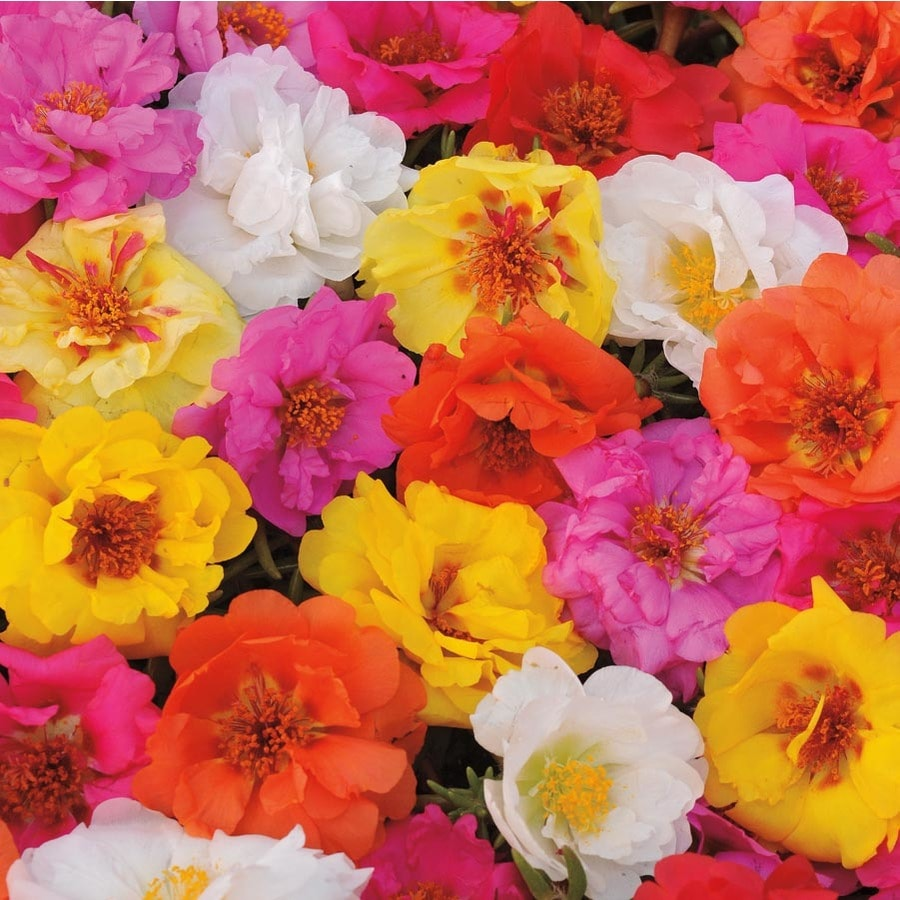 1.75-Gallon Portulaca (L2535)