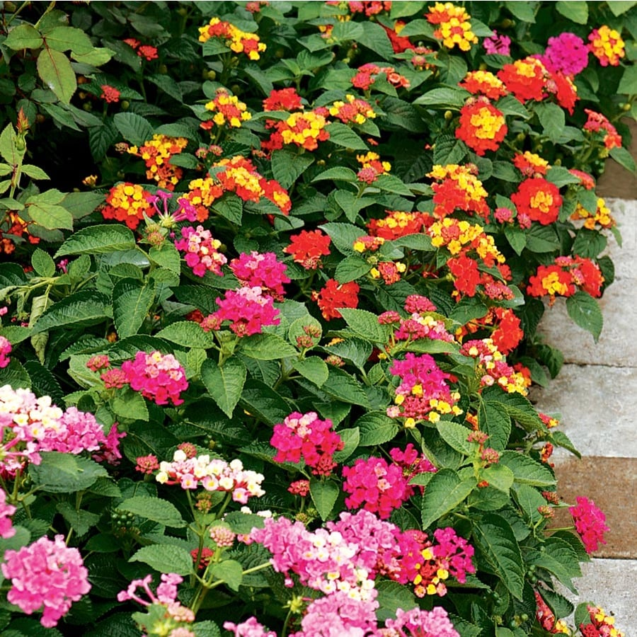 2 Gallon Hanging Basket Lantana (L6708)
