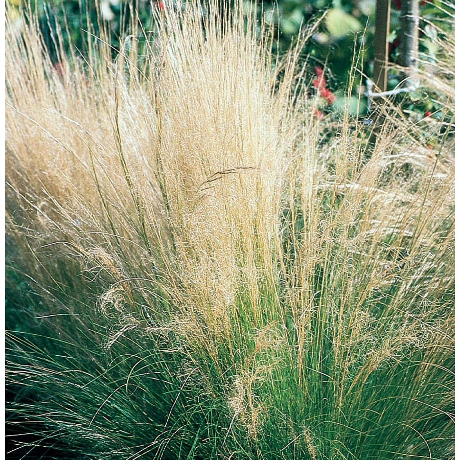 1-Quart Feather Grass (L16414)