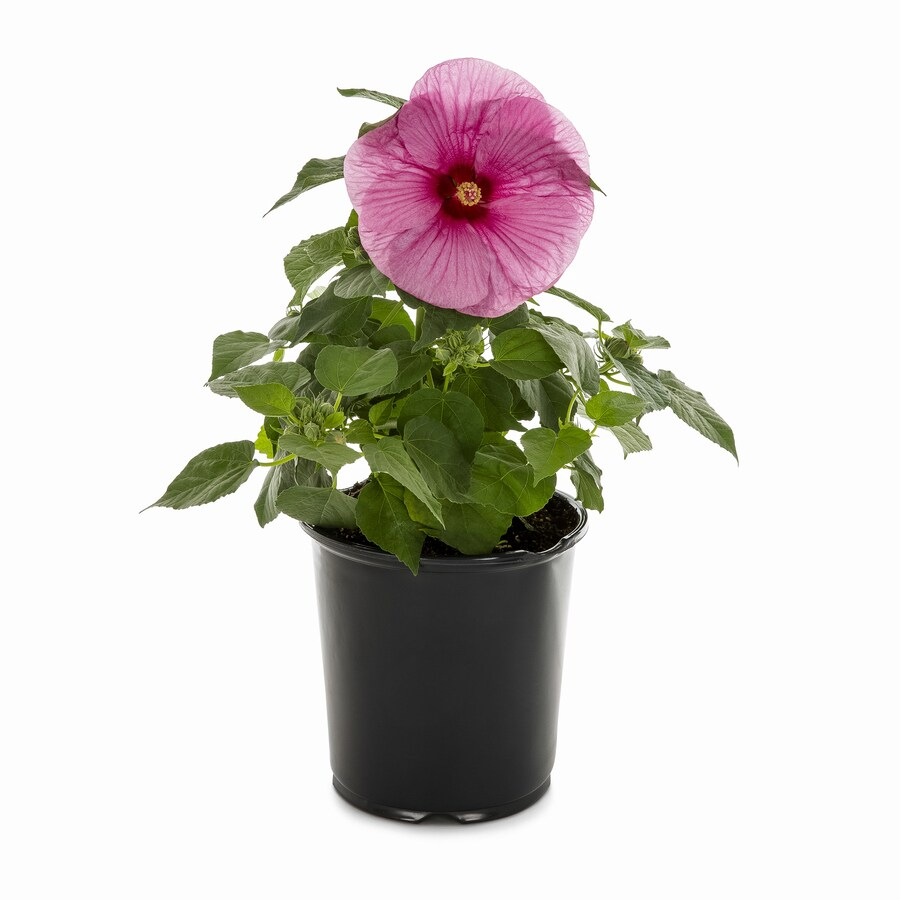 1 Gallon In Pot Hardy Hibiscus L2556 At Lowescom