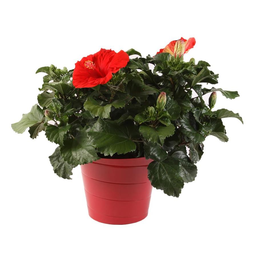 3-Quart Planter Hibiscus