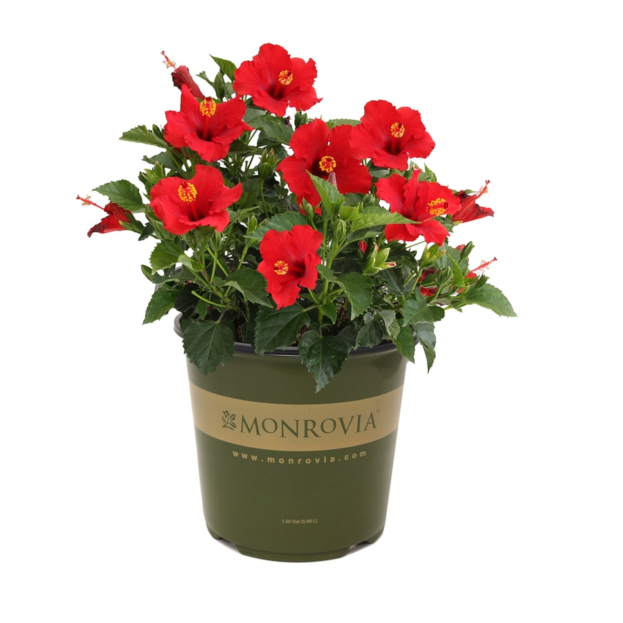 Monrovia 1 Gallon Potted Hibiscus At Lowescom
