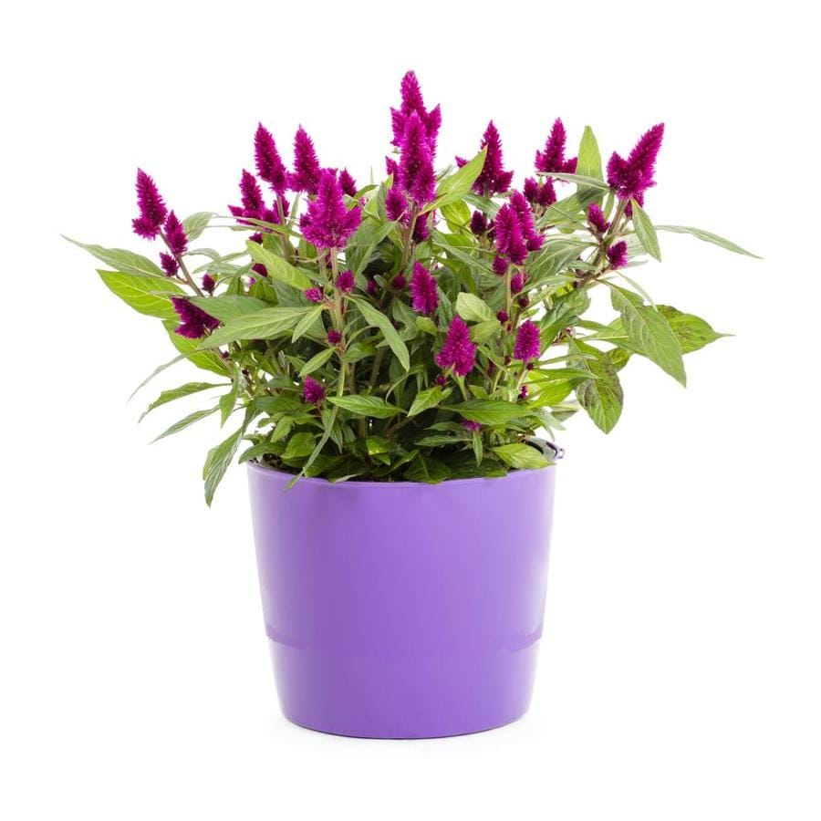 3.00-QT CELOSIA SHADES OF SUMM