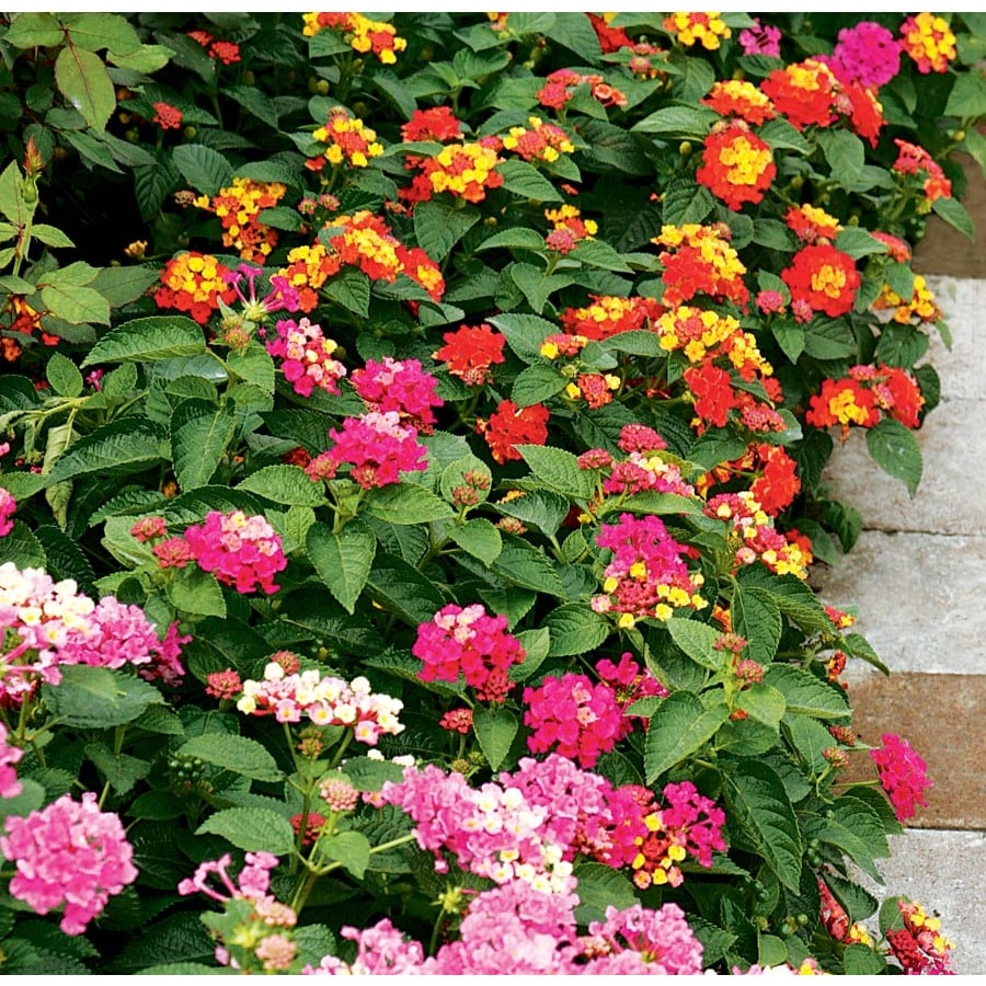 Shop 2 Gallon Planter Lantana L6708 At Lowes