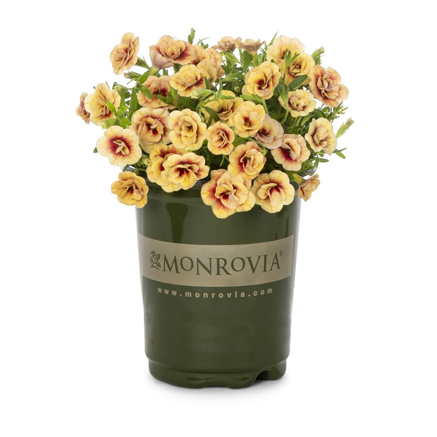 Monrovia 1-Quart Calibrachoa (L17603)