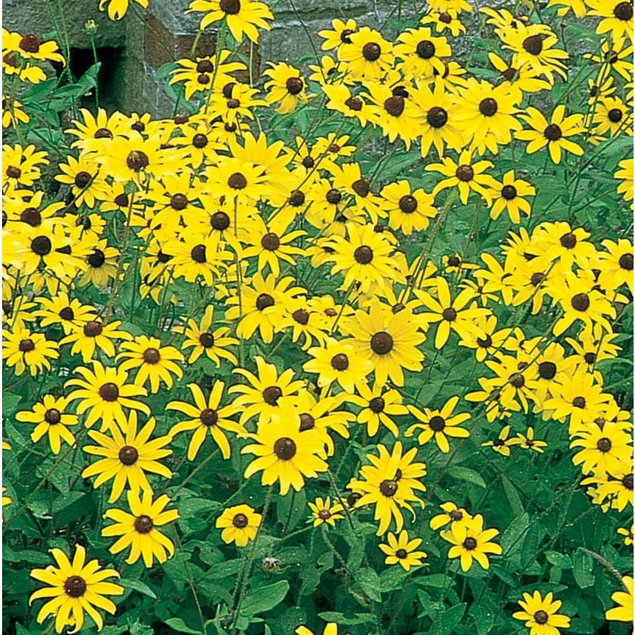 1.5-Gallon Black Eyed Susan (L5336)