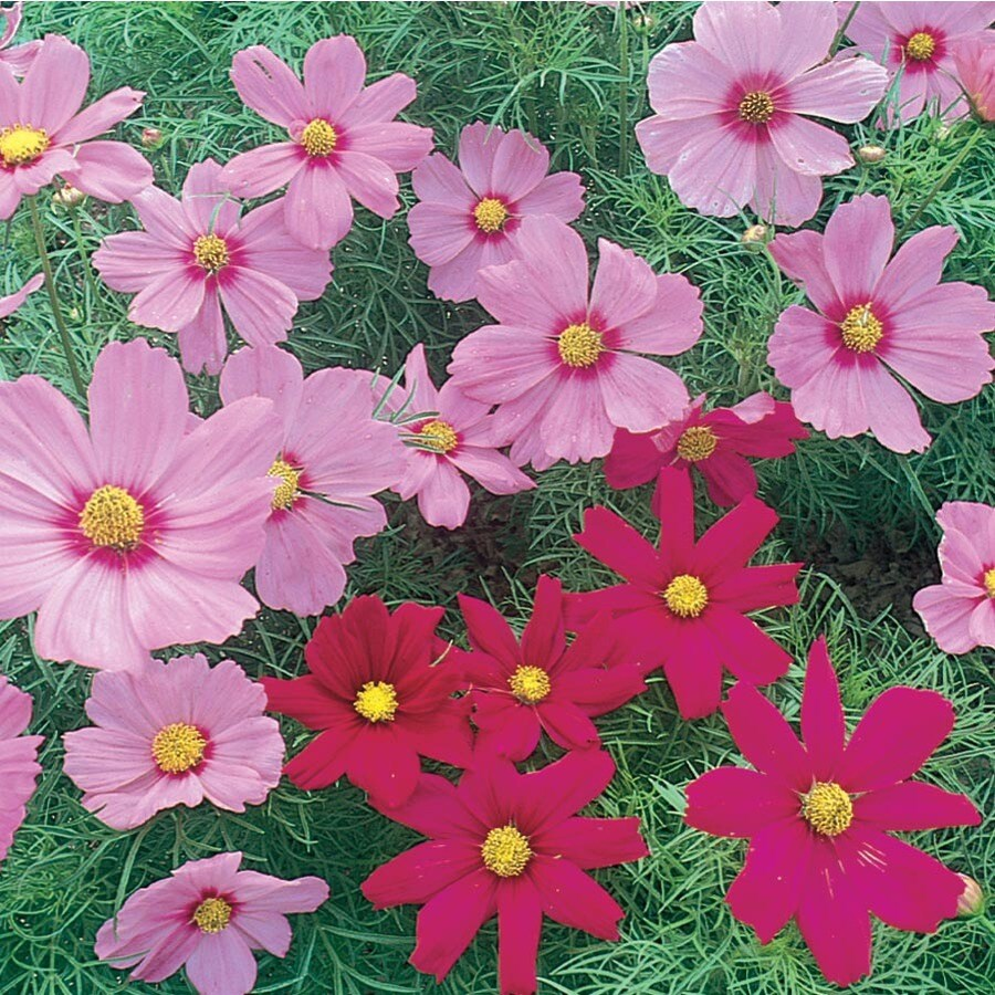 6-Pack Cosmos (L11709)