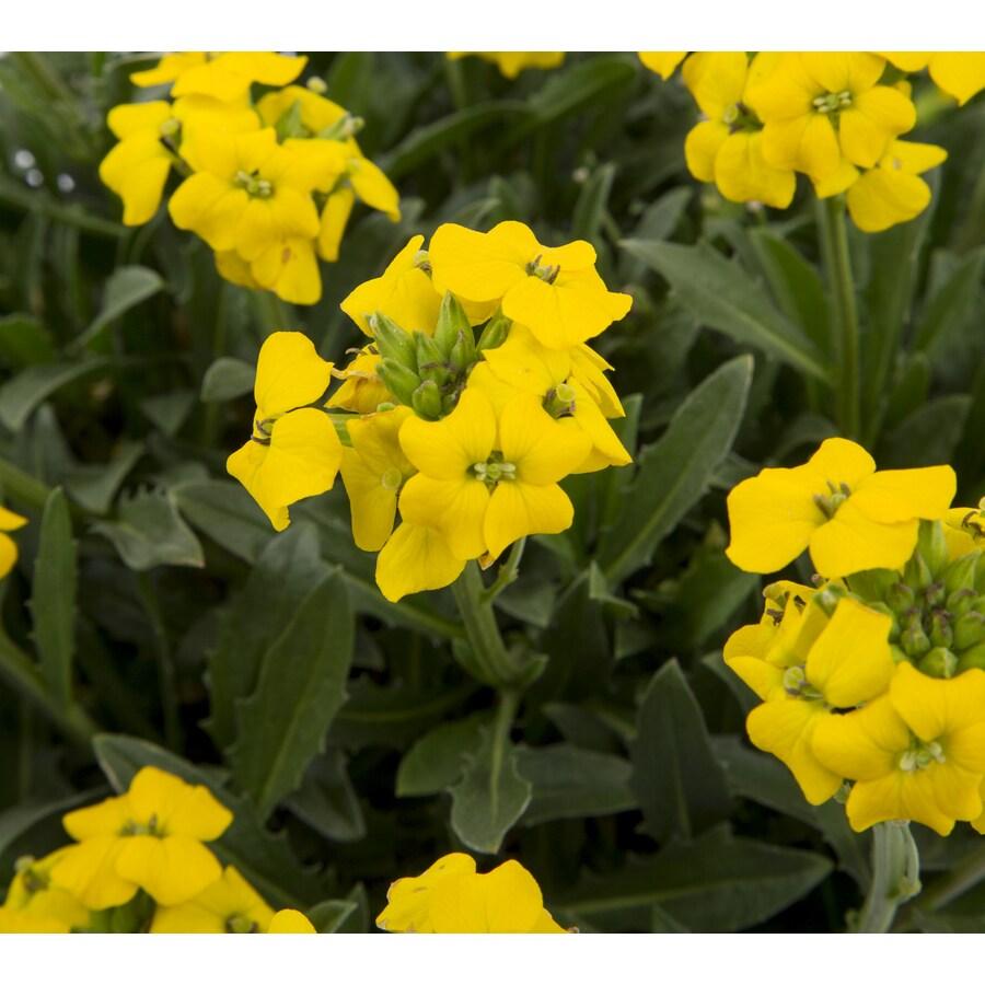 6-Pack Wallflower (Lw04008)