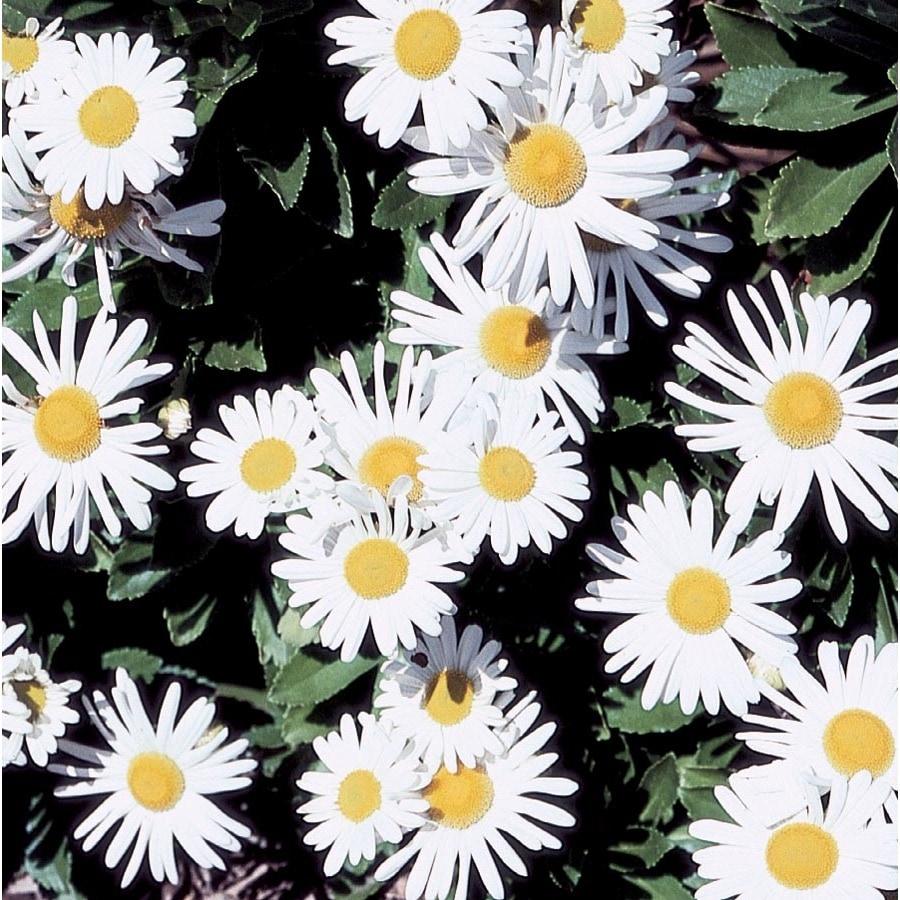 2.88-Gallon Montauk Daisy (L9638)