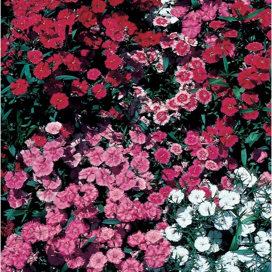 1.56-Gallon Dianthus (L9857)