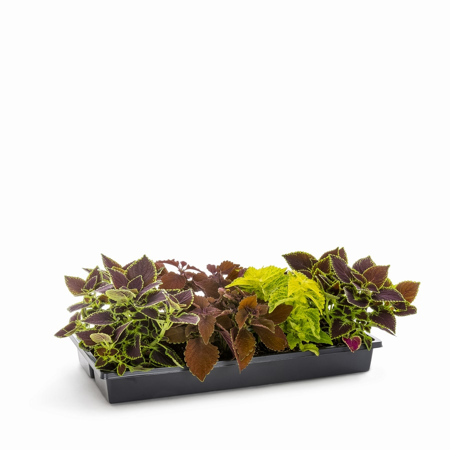 1.65-Gallon Temporary Coleus (L2567)