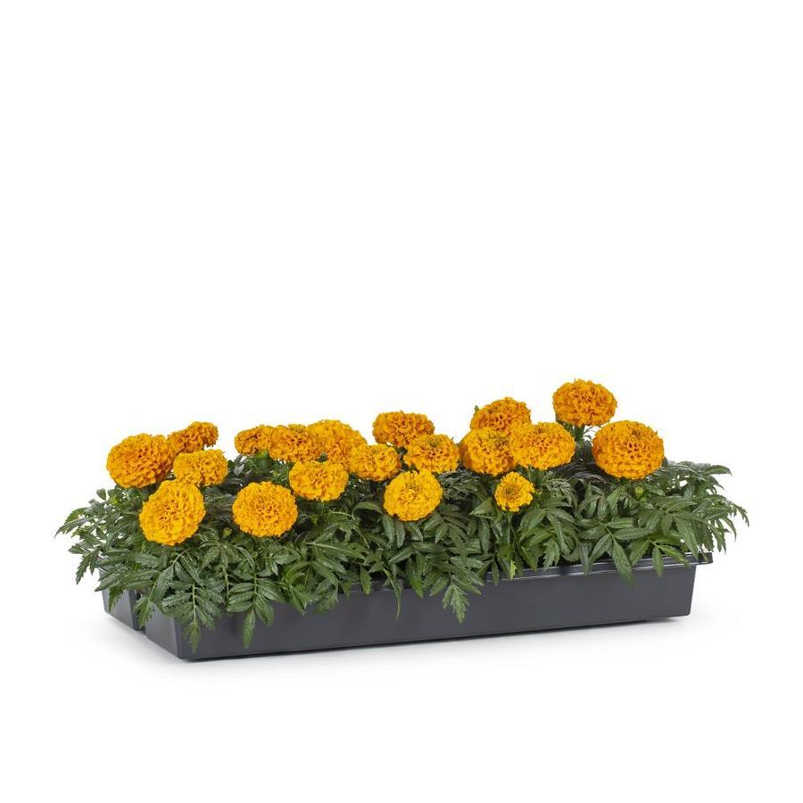 1.65-Gallon French Marigold (Dwarf) (L17086)