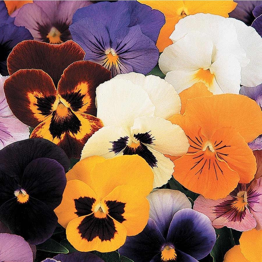 1.65-Gallon Pansy (L5048)