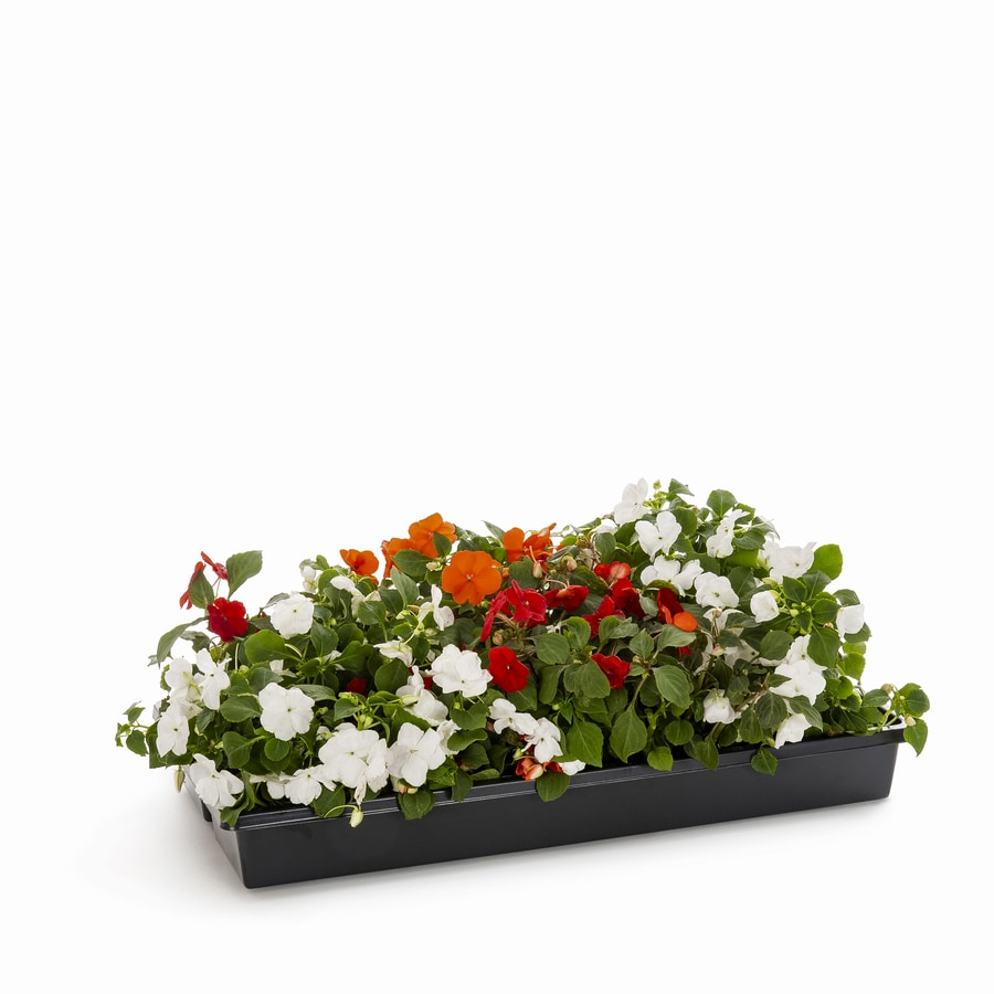 1.65-Gallon New Guinea Impatiens (L3080)