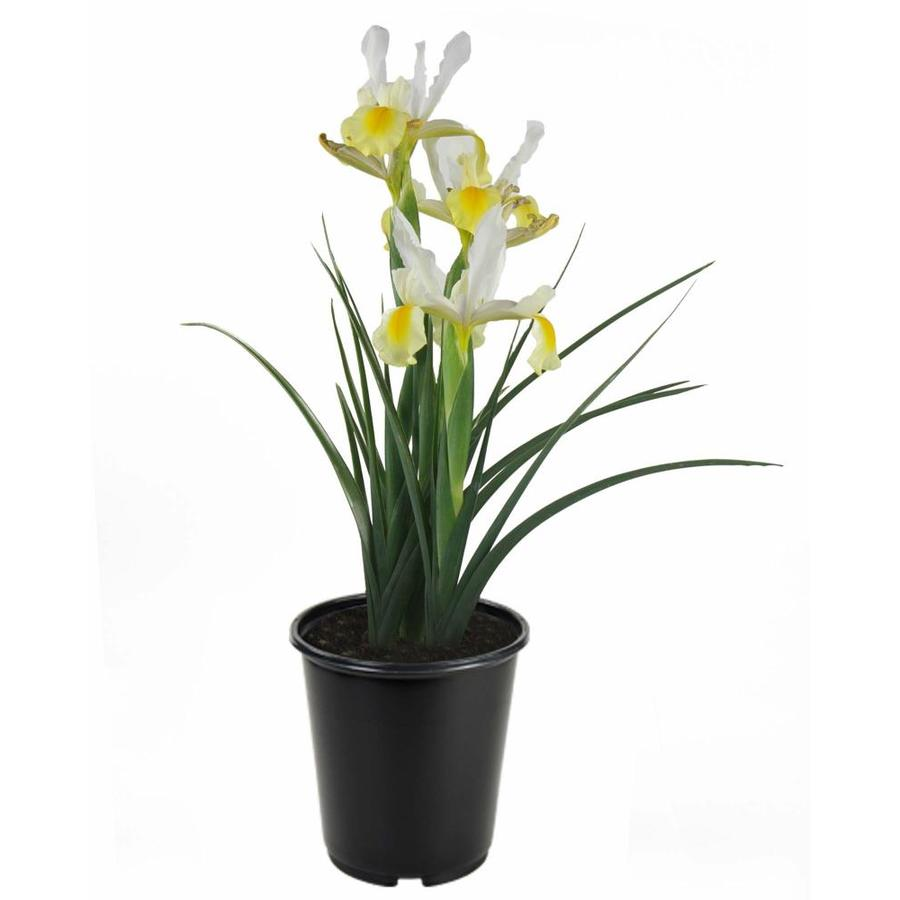 Shop 1 gallon potted iris at lowes 1 gallon potted iris izmirmasajfo