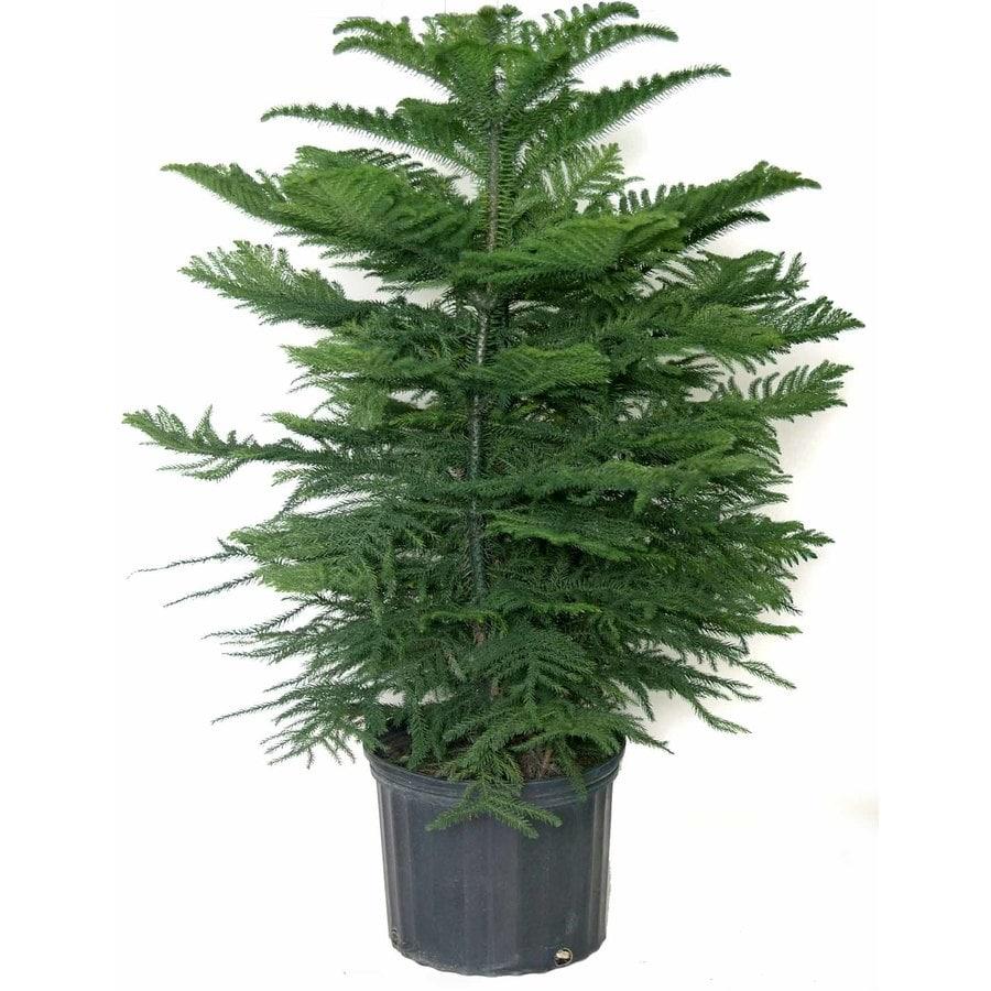 Norfolk Island Pine in Planter (L20960hp)