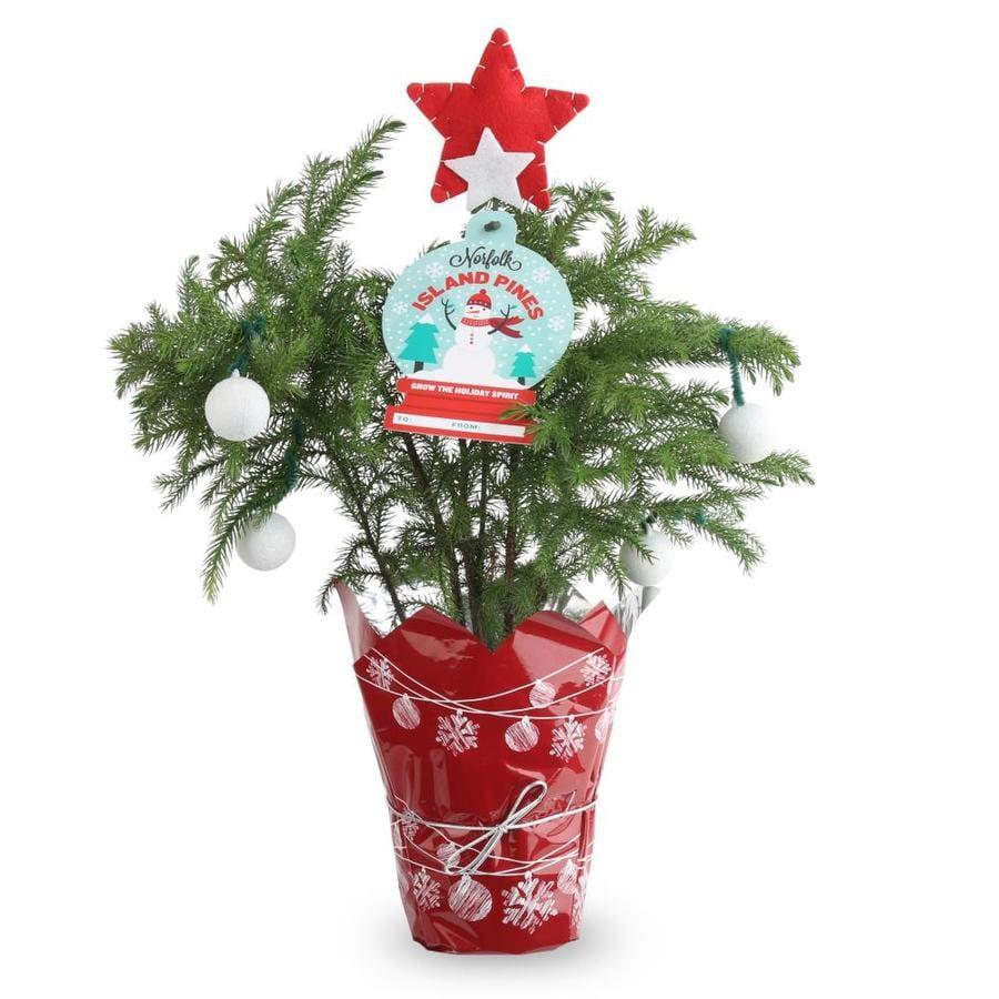 Shop Norfolk pine (Ard4) at Lowes.com