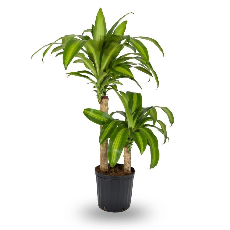 Shop House Plants at Lowescom
