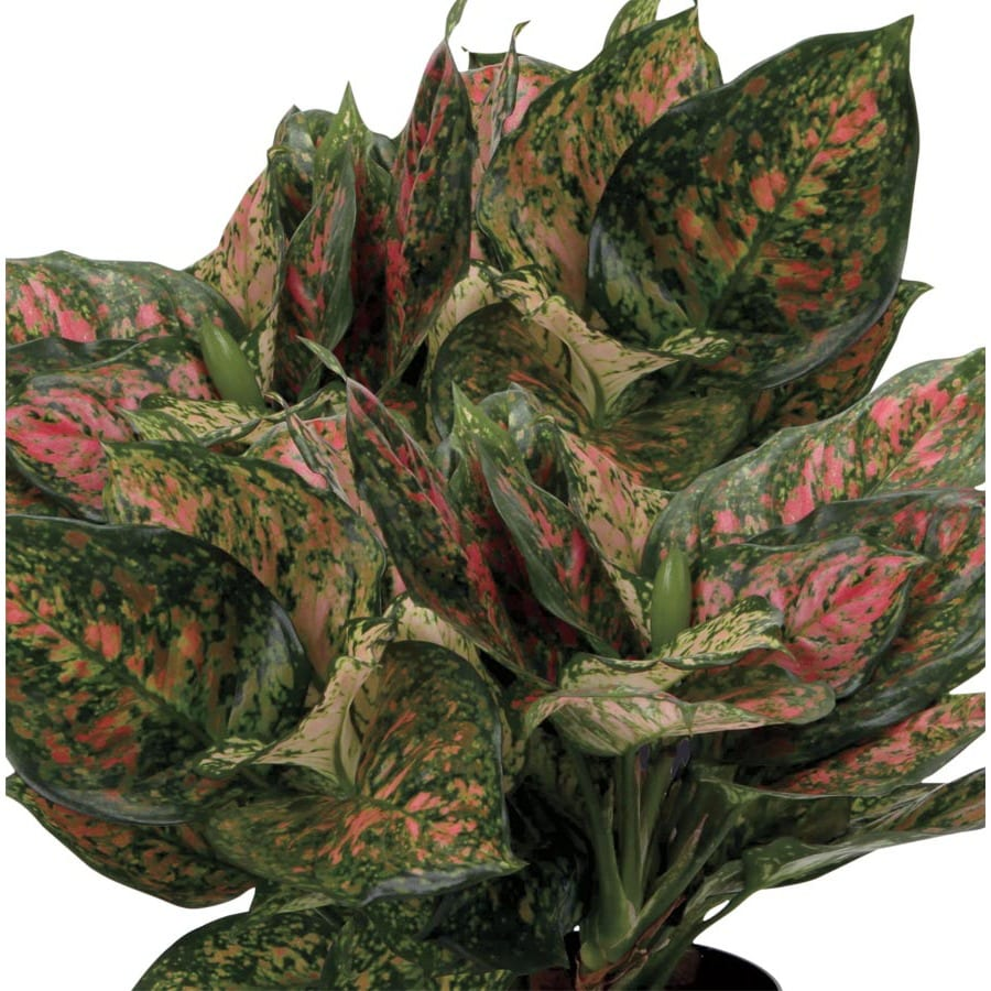 2.25-Gallon Red Aglaonema (L23615HP)