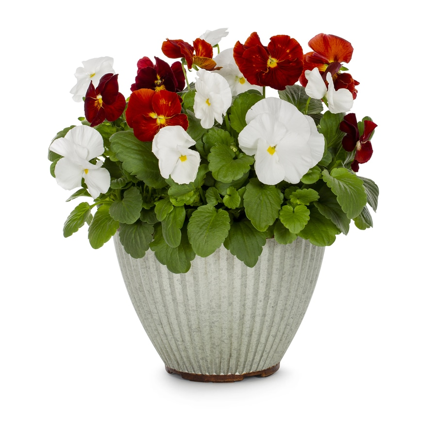 1-Gallon Majestic Giants Pansy (L16574)