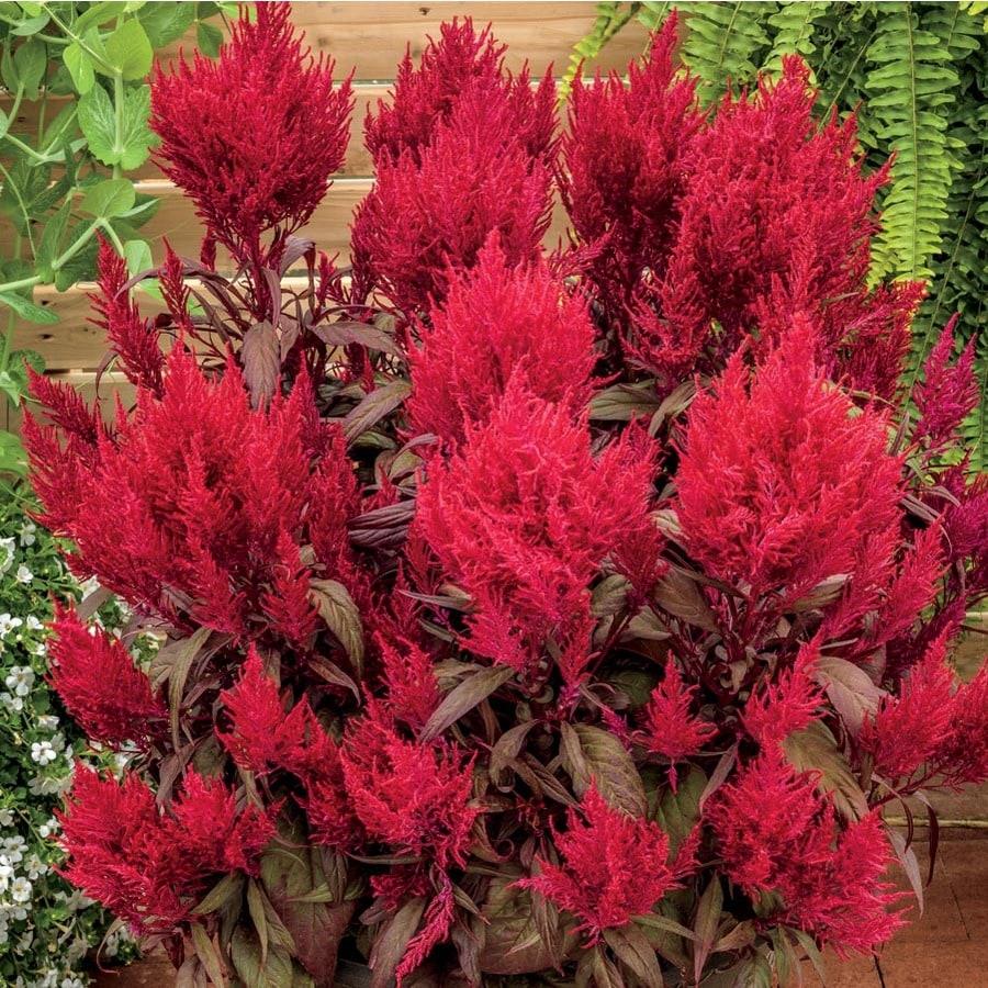 1.5-Gallon Red Dragon's Breath Celosia In Pot (L27630) At