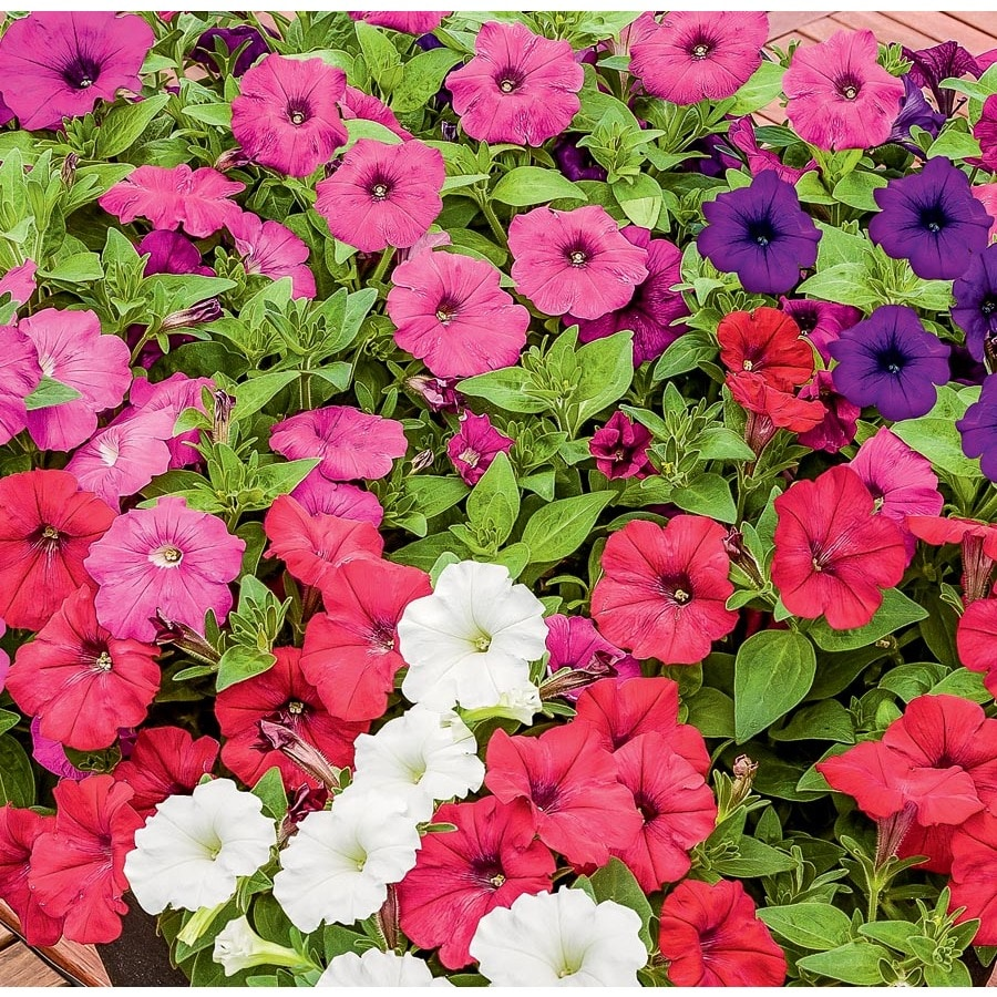 No Petunias Were Harmed In >> 6 Pack Multicolor Success Petunia In Tray L26932 At Lowes Com