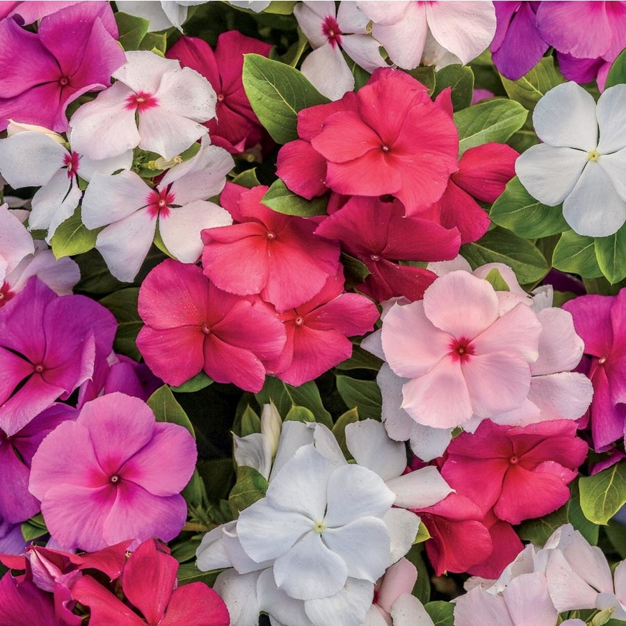 Shop 12 Pack Tray Vinca L3286 At Lowes
