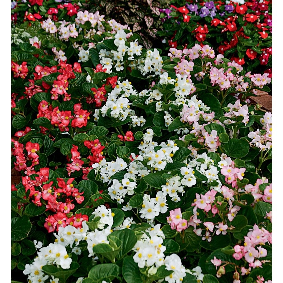 2-Gallon Begonia (L6589)