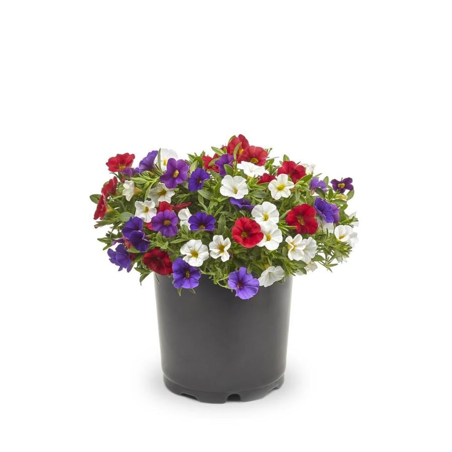1.25-Quart Calibrachoa (L17603)