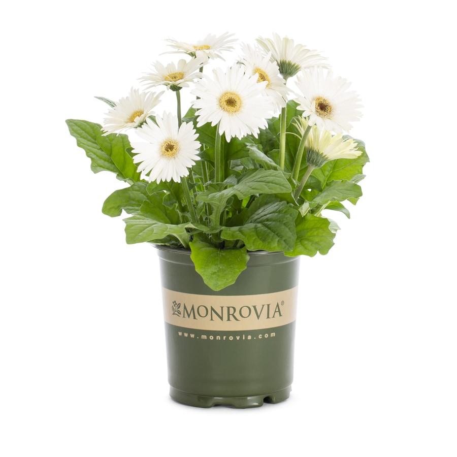 Monrovia 2.5-Quart Gerbera Daisy (L3114)