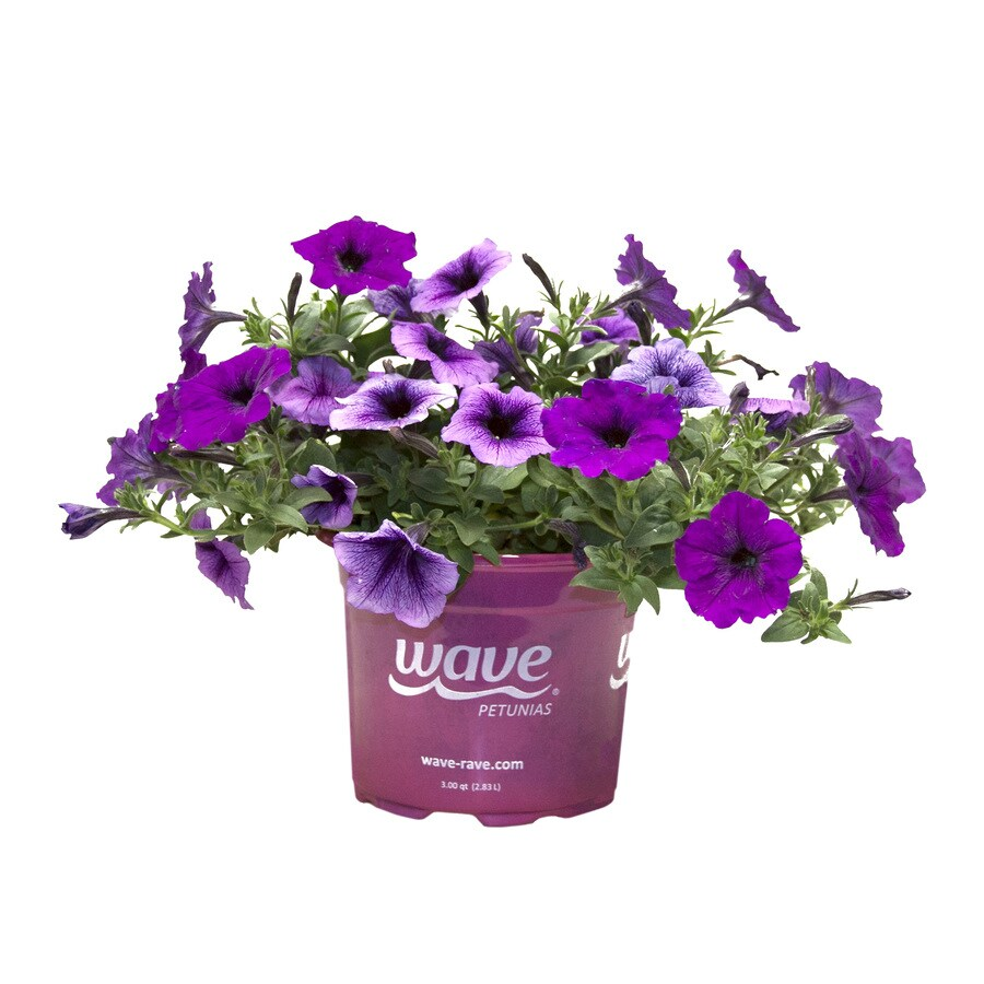 3-Quart Big Wave Series Petunia (L00983)