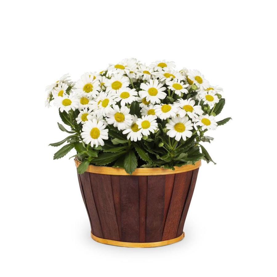 1.5-Gallon Montauk Daisy