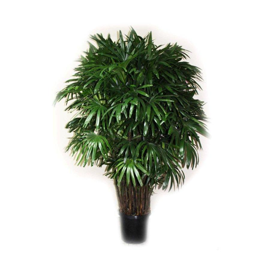 14-in Lady Palm in Planter