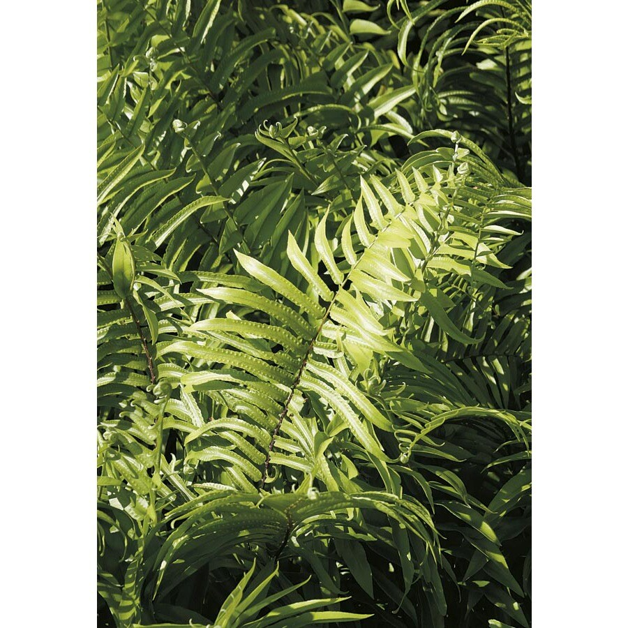 2-Gallon Macho Fern (LTL0051)