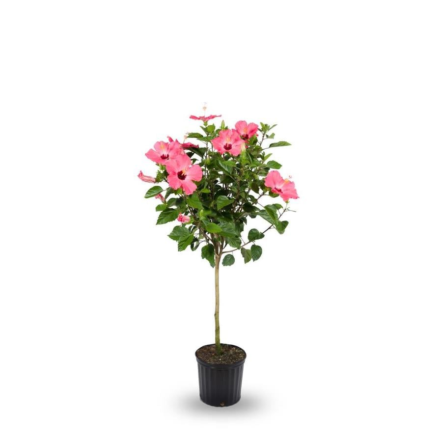 2 Gallon Multicolor Hibiscus Tree Flowering Shrub In Pot L10437 At