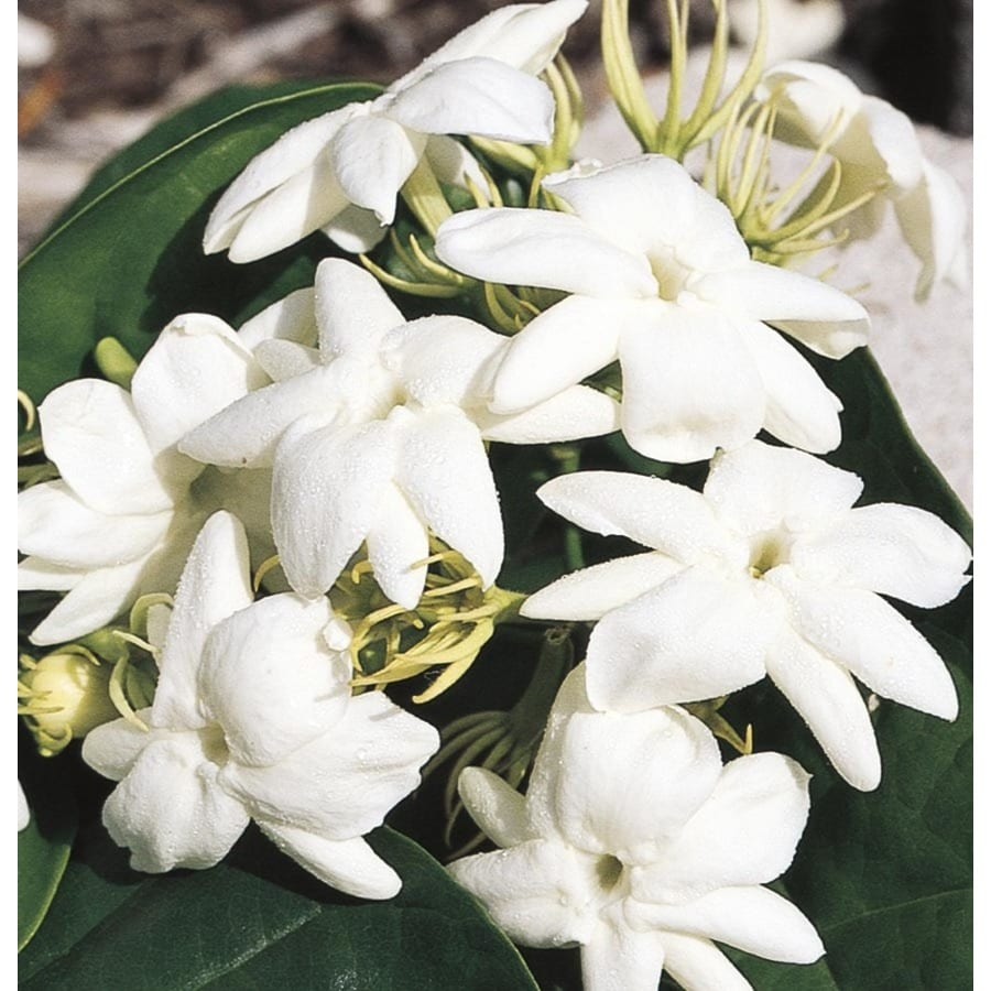 White Arabian Jasmine Flowering Shrub In Pot With Soil L5922 At