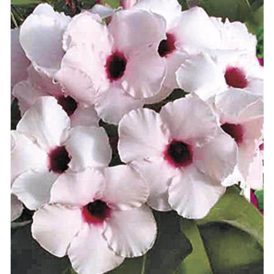 1.25-Quart Bicolor Desert Rose Flowering Shrub (L11232)