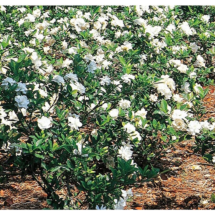 2.25-Gallon White Gardenia Flowering Shrub (L5150)