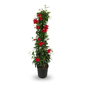 2.5-Quart Red Sun Parasol; Crimson Mandevilla Flowering Shrub in Pot (Lw00969)